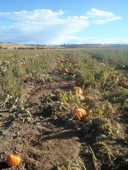 pumpkin-patch-rock-creek-farm